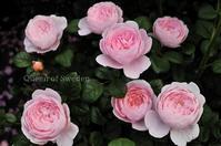 写りの良い薔薇 - 彼とカヲリの庭の関係