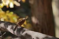 野鳥と紅葉シリーズ…ガビチョウ - 上州自然散策2