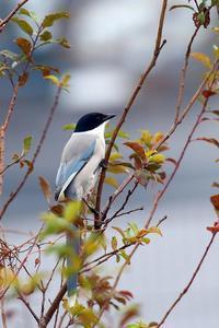 オナガ - 比企丘陵の自然