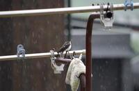 雨の中のツバメ 6月下旬 - 長靴だいすき