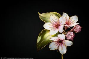 桜簪【 小春 】の出品と、【 朧 】その後 - 榮 - kanzashi sakae - 簪作家