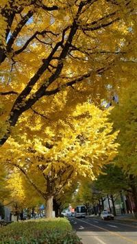 広瀬通の銀杏並木が...@仙台 - pirokon散歩