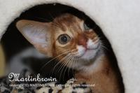 アビシニアンの子猫 @abyssinian girls - Martinbrown's Abyssinians