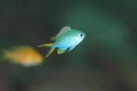 アルファスズメダイ幼魚 - Diving Photo