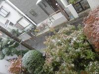 54年振り11月の初雪と菊のコラボレーション - 活花生活(2)