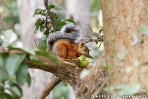 グアバを食べるリス - とことん写真