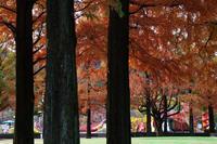 メタセコイア -長良公園- - びっと飴