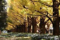神宮外苑の銀杏並木は歩行者天国に\(◎o◎)/ - 自然のキャンバス