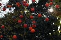 太陽と柿衛星 - PhotoWalker*
