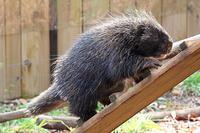 動き回るカナダヤマアラシ - 動物園放浪記