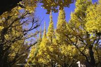 黄葉の銀杏並木2016 --- 神宮外苑の巻 - くにちゃん3@撮影散歩