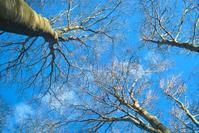 葉を落としたブナ・・・☂で山霧、気温9℃の朝に    朽木小川・気象台より - 朽木小川・気象台より、高島市・針畑郷・くつきの季節便りを!