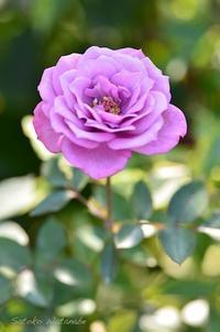 バラ オード トワレ  - 今日の小さなシアワセ