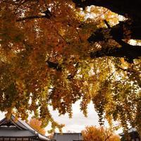 #577 〜西本願寺さんの銀杏〜 - カメラを相棒に