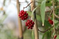 赤い実がユラリ!美男カズラ - 気ままにデジカメ散歩