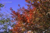紅葉のあれやこれや--六本木の巻 - くにちゃん3@撮影散歩