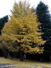 銀杏の木の下で 2016/11/27(日) - アフサル日記 アフガンハウンドとサルーキに惹かれて