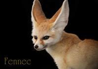 フェネック:Fennec - 動物園の住人たち写真展