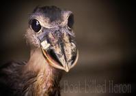 ヒロハシサギ:Boat-billed Heron - 動物園の住人たち写真展