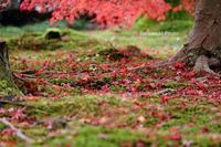 晩秋のモミジ - バラと遊ぶ庭