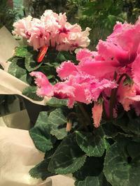 花苗、鉢物入荷情報 - ~ Flower Shop D.STYLE ~ (新所沢パルコ・Let's館1F)