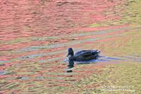 池に映り込んだ紅葉と水鳥のコラボ!!! - 自然のキャンバス