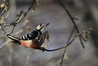 オオアカゲラ - 『彩の国ピンボケ野鳥写真館』