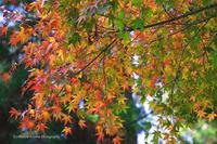 紅葉のあれやこれや---北鎌倉の巻---その3 - くにちゃん3@撮影散歩