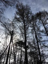 伐採/シラカバ・カラマツ - 三楽 sanraku 造園設計・施工・管理 樹木樹勢診断・治療