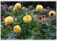 ◆神代植物公園のダリアと地元の紅葉風景・・・(・ω・)ノ - ☆彡ちいさな幸せ☆彡別館