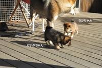 日向ぼっこしてみた♬ - 四国犬 テツカナ今日この頃