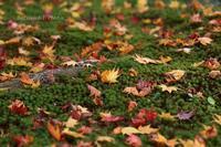 落ち葉の絨毯 - バラと遊ぶ庭