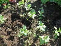 そら豆の苗を本植えにしました - 光さんの日常