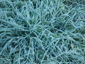 今朝は霜が降りました。 - チドルばぁばの家庭菜園日誌パート2