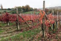 名ワイン紅葉美しブドウ畑、モンテファルコ - ペルージャ イタリア語・日本語教師 なおこのブログ - Fotoblog da Perugia