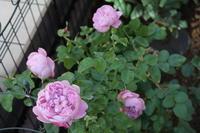 12月のバラ - My clematis diary