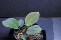 "Homalomena sp. ""Sanggau Green"" - PlantsCade -2nd effort"