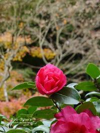秋の鎌倉〜明月院へ - ぶうぶうず&まよまよの癒しの日記