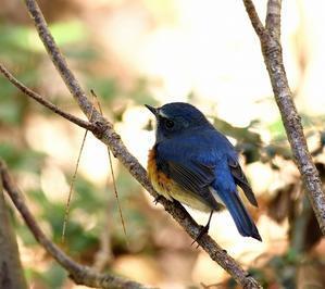 待望のルリビタキ♂に出会えた・・・ - 一期一会の野鳥たち