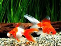 グラビトンの水に変えたら 金魚生き生き! - マザーズサロン重信