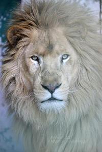 2016.12.4 東北サファリパーク☆ホワイトライオンのリオン【White lion】 - 青空に浮かぶ月を眺めながら