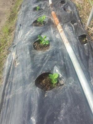 えんどうの植え付けと、そら豆日記③ - なるようになるなる