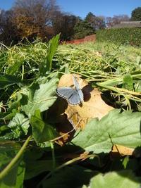 2016年12月上旬 茨城県西部埼玉県北部県境 いつもの公園 - 春ちゃんのメモ蝶3