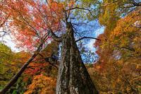 生杉原生林の紅葉 - 花景色-K.W.C. PhotoBlog