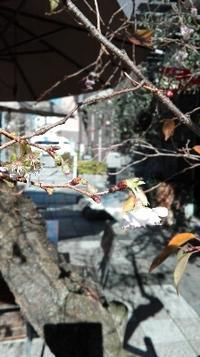 御池桜 - 京都の住人。