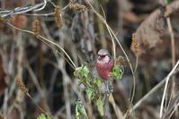 ベニマシコ - ごっちの鳥日記