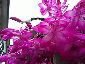 シャコバサボテンの花が、もう満開…2016/12/5 - 徳ちゃん便り
