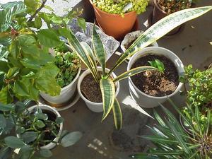 ●余りに暖かくて、ベランダで日向ぼっこの観葉植物 - 太陽と大地のエクボ3