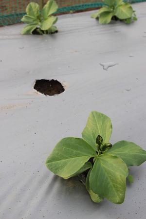 自家採種の問題か天候の問題か・・・ - ぬるぅい畑生活