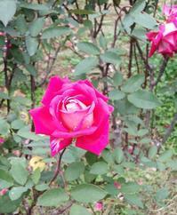 バラの写真と、バラの花のような人と浅田真央さんのことを祈る - 本読み虫さとこ・ぺらぺらうかうか堂(フィギュアスケート&映画も)